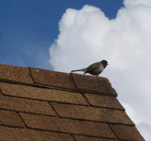 Song_bird_perched_on_asphalt_shingle_roof